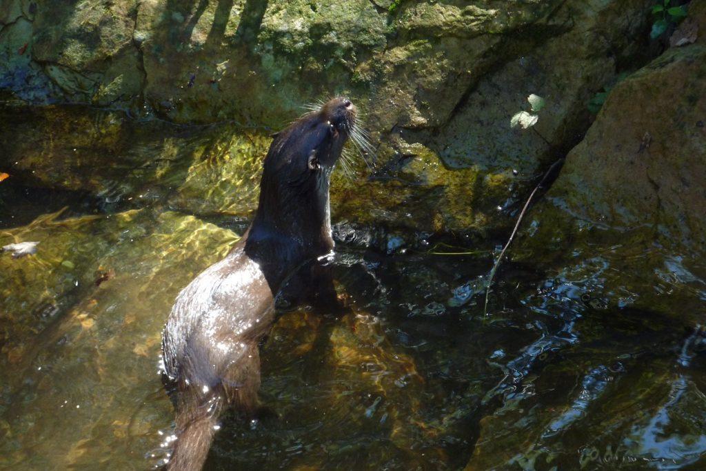 Wildpark Gersfeld - Otter