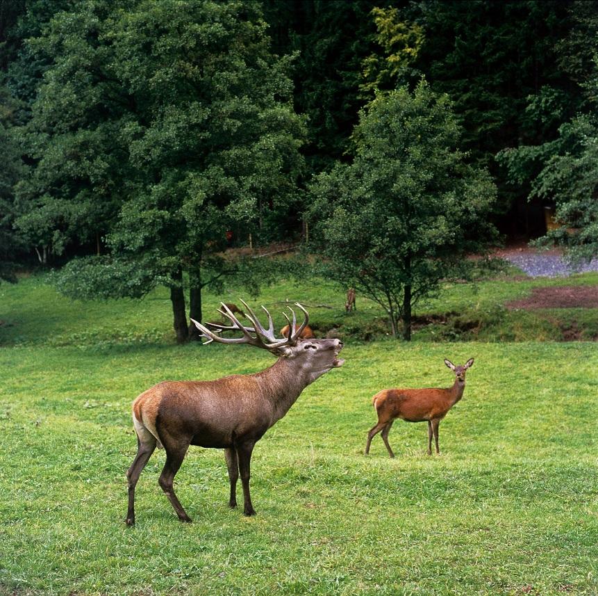 Wildpark Gersfeld - Hirsch
