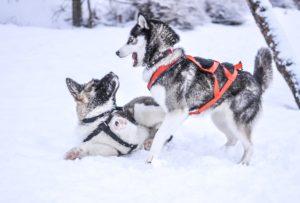 Huskytrekking - Zwei Huskys im Schnee
