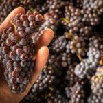 Weinseminar - Rotweintrauben in der Hand