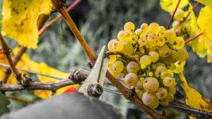 Weinseminar - Weißweintrauben werden vom Stock abgeschnitten